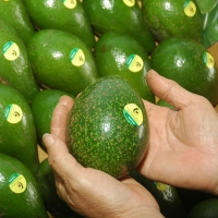 Marketing and branding for avocado sector development